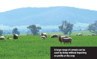 A large range of cereals can be used by sheep without impacting on profits or the crop