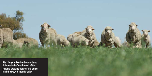 Plan for your Merino flock