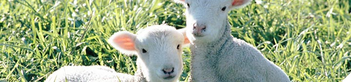 Ensure most ewes get in-lamb