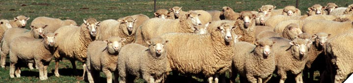 Keep maximum number of lambs alive to weaning