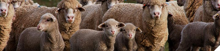 Prepare your ewes for next joining